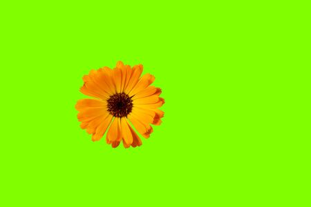 Orange Flower isolated on trendy ufo green color background. Flat lay. Copy space. Фото со стока