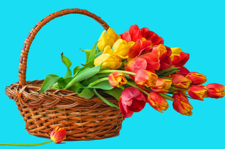 Bouquet of tulip flowers in the basket on blue background, copy space.