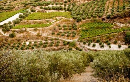 paisaje mediterraneo: Olivares y vi�edos en la isla de Creta. Grecia. Foto de archivo