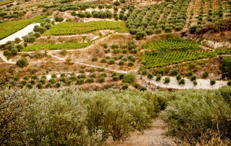 Olive groves and vineyards on the island of Crete. Greece.