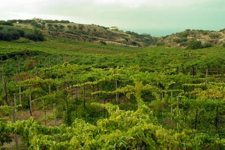 The vineyard in Crete at summer, Greece