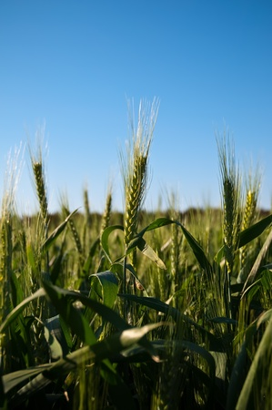 Green wheat field with blue  sky . photo