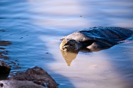 ocadia sinensis: African myagkokozhaya turtle ( Trionyx triunguis  ) .One of the last three major populations in the Middle East. Israel. Brook Alexander.