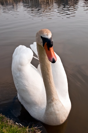 Swimming swan causing beautiful ripples in a pond Stock Photo - 9563242