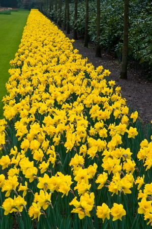 lisse: Daffodil flowerbed in the Keukenhof park, lisse Netherlands . Stockfoto