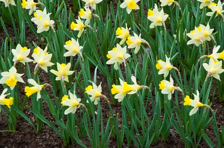 lisse: Daffodil flowerbed in the  park, lisse Netherlands .