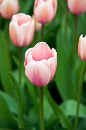 Pink tulip taken in natural light . photo