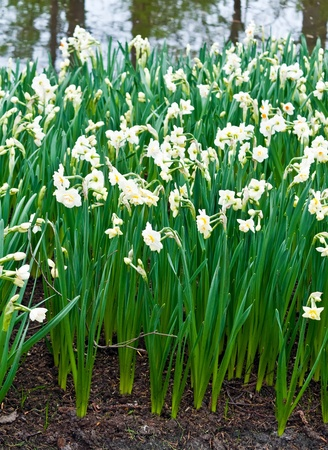 lisse: Daffodils  in Keukenhof Gardens, Lisse, Netherlands . Stockfoto