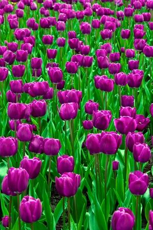 Purple tulip taken in natural light . photo