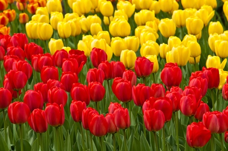 Field full of red and yellow tulips in bloom . Stock Photo