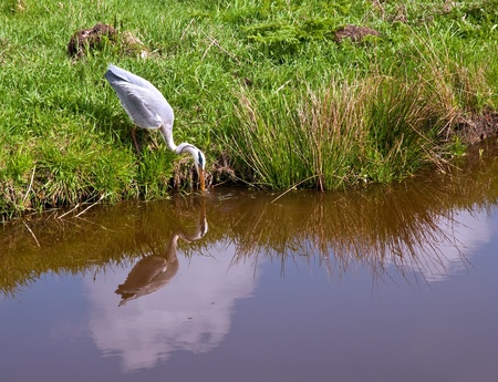 Grey Heron standing by some water.
