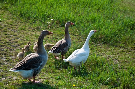 cackle: Goose with goslings in the family background of green grass.