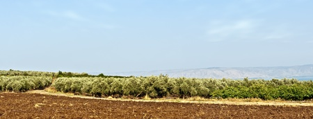 Rural landscape at sunset of a valley cultivate with trees of olives in row .North Israel . photo