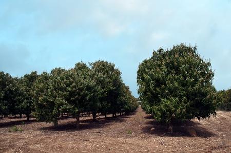 Plantation of flowering trees avocado.