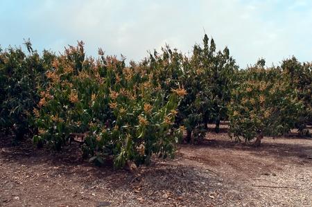 Plantation of flowering trees avocado. photo