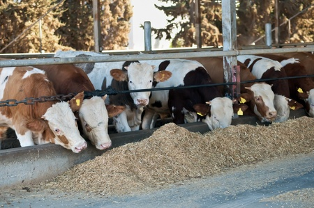 Israeli kibbutz cows feeding .