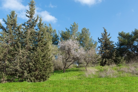 Spring landscape with blossoming almond trees. Israel. Stock Photo