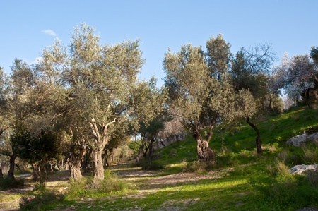 Old Olive tree grove .Israel photo