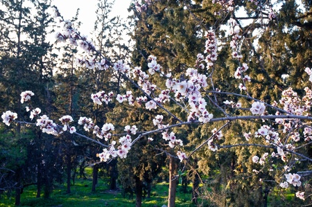 israel agriculture: Spring landscape with blossoming almond trees. Israel. Stock Photo