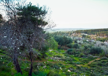 Spring landscape with blossoming almond trees. Israel. photo