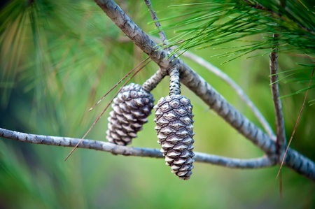 Pine Cone And Branches . photo