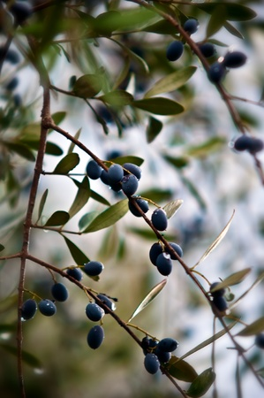 Mature olives on tree. Stock Photo