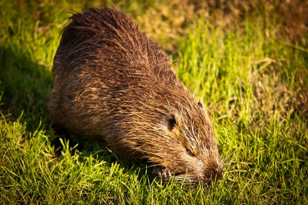 nutria: Nutria in the grass . Stock Photo