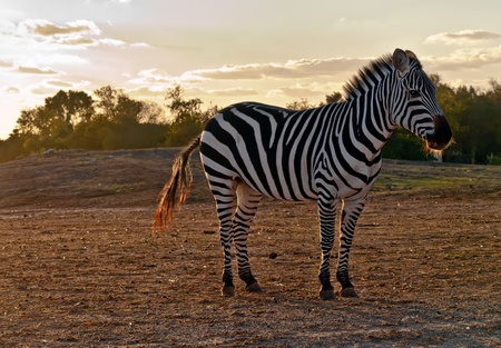 burchell: Portrait of a wild  zebra .