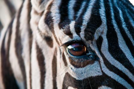 Closeup of zebra skin texture and eye . Stock Photo - 11508841