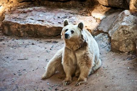 Syryjski: Syryjski niedźwiedź brunatny (Ursus arctos syriacus). Zdjęcie Seryjne