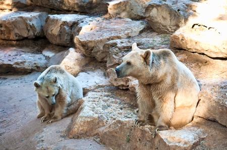 syrian: Syrian brown bear ( Ursus arctos syriacus ) . Stock Photo