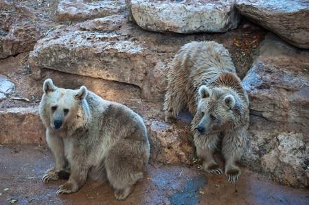 Syrische Braunbären (Ursus arctos syriacus). Standard-Bild - 11513997