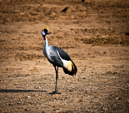 Grey Crowned Crane (Balearica regulorum) head in profile . Stock Photo - 11513996