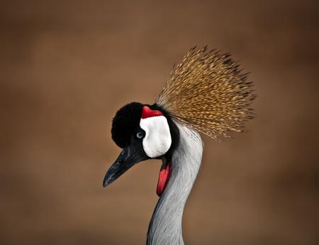 Grey Crowned Crane (Balearica regulorum) head in profile . photo