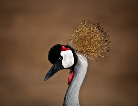Grey Crowned Crane (Balearica regulorum) head in profile . photo