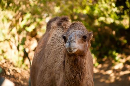 Head shot of a camel at  zoo . Israel photo