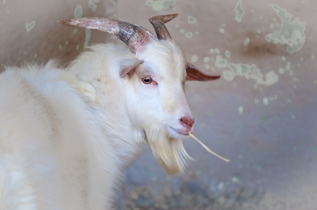 Close up of white goat looking in the camera . Stock Photo - 11514004