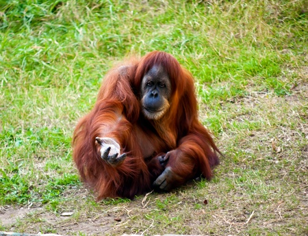 Orangutan sitting on the ground with outstretched hand.