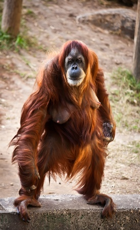Portrait of an adult female orangutan standing on its hind legs.