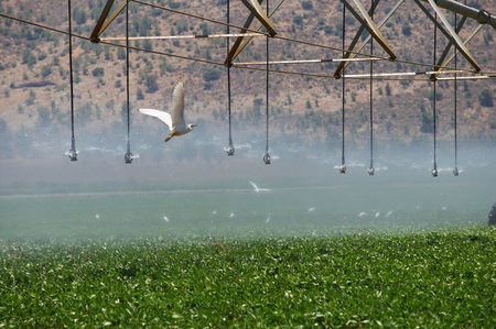 consolidated: Consolidated Irrigation of the field. A flock of migratory birds in the field.