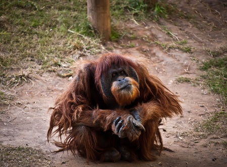 Portrait of a thoughtful adult orangutan. Stock Photo