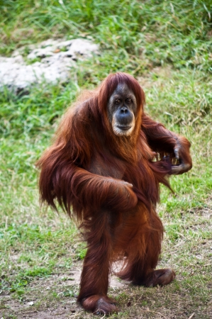 ape: Portrait of an adult female orangutan standing on its hind legs.