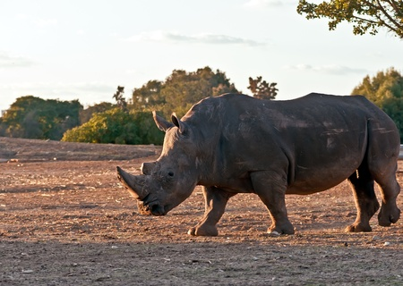 Rhino walking in the field . photo