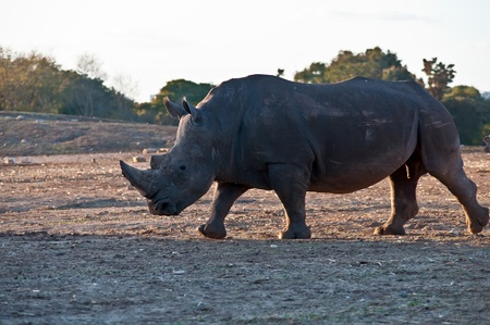 Rhino walking in the field . Stock Photo - 11790276