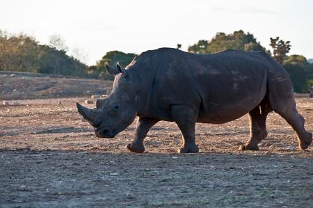grazer: Rhino walking in the field . Stock Photo