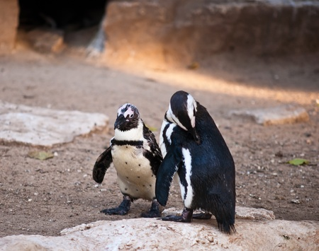 African Penguin (Spheniscus demersus), also known as the Black-footed Penguin is a species of penguin, confined to southern African waters . Stock Photo - 11790280