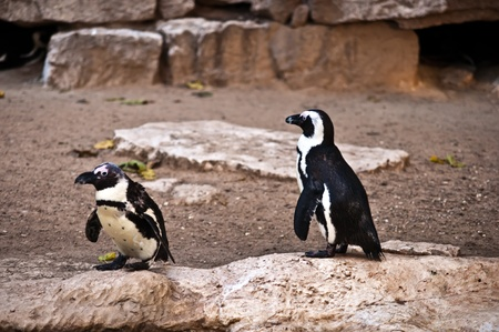African Penguin (Spheniscus demersus), also known as the Black-footed Penguin is a species of penguin, confined to southern African waters . Stock Photo - 11790282
