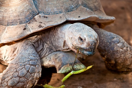 inhabits: African spurred tortoise (Geochelone sulcata), also called the African spur thigh tortoise  or the sulcata tortoise, is a species of tortoise which inhabits the southern edge of the Sahara desert, in northern Africa.