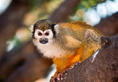 Squirrel monkey in a branch in Israel . photo