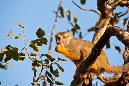 Squirrel monkey in a branch in Israel . Stock Photo - 11966637